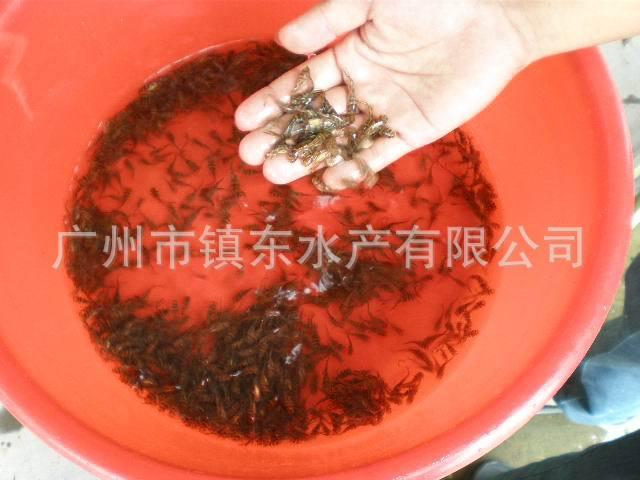 �鱼_供应超雄黄颡鱼苗(黄骨鱼)-广州市镇东水产有限公司