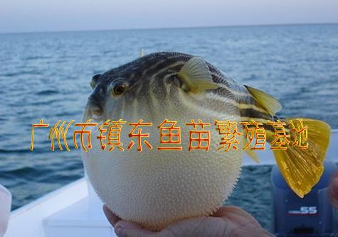 �鱼_河豚鱼苗、鲃鱼苗、巴鱼苗、鸡泡苗、暗纹东方鲀鱼苗-广州